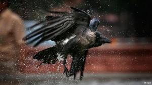 crow_bird